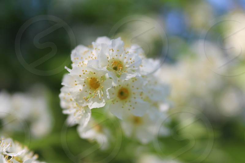 #spring #flower #blossoming #birdcherry photo