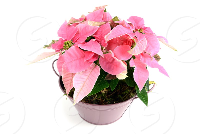 pink poinsettia in flowerpot. white isolated background photo