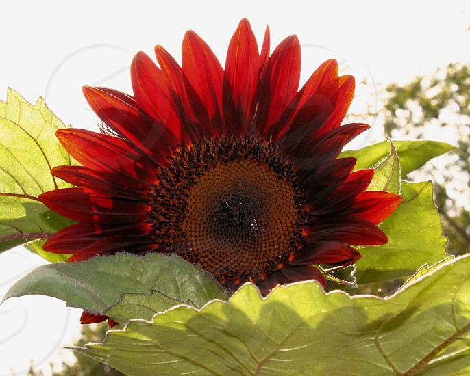 #Sunflower#Flower #Nature #Flowers #Sommer photo