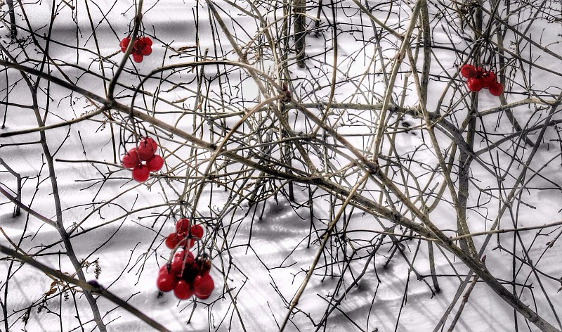 red currant tree in snowy field photo