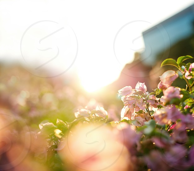 pink flower with sunrise view  photo