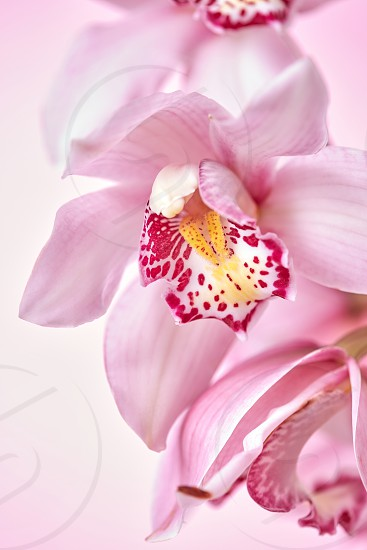 Macro photo a branch of pink delicate orchid flowers on a pink background with copy space. A natural layout for a postcard photo