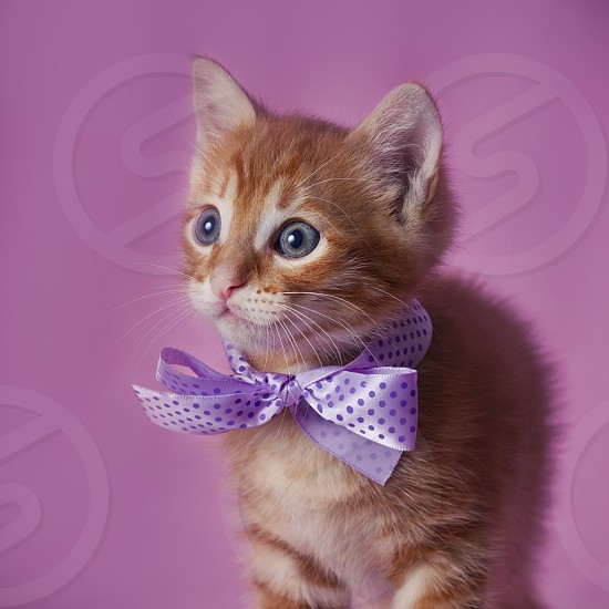 cat Red tabby kitten portrait indoor cute Rudy domestic whiskers pet violet ribbon galant photo