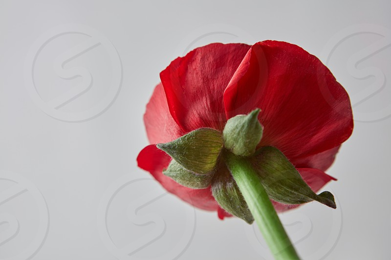 beautiful red ranunculus flower with green leaves on a gray background greeting card for Valentine's Day photo
