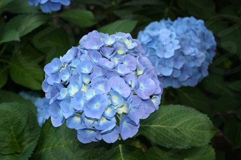 Spring flower hydrangea  photo