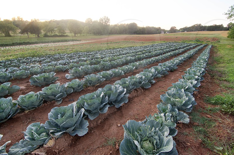 Cabbage growing at a small local farm in East Tennessee. photo