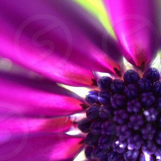 Osteospermum fructicosum macro photo