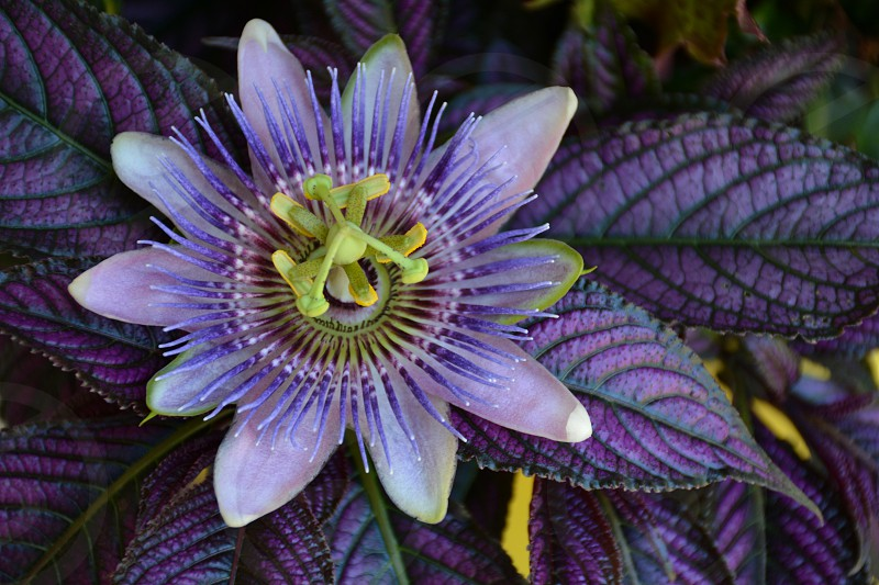 Passiflora / Passion flower and Persian Shield photo