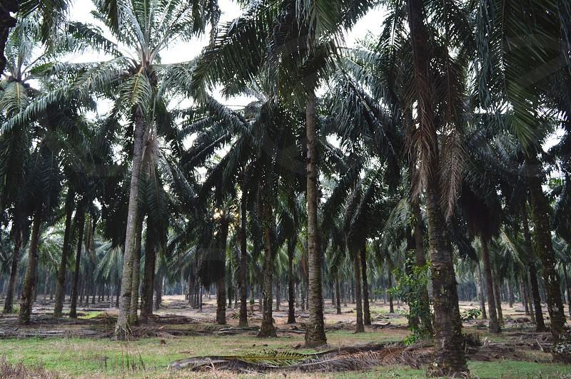 palm oil tree estate photo