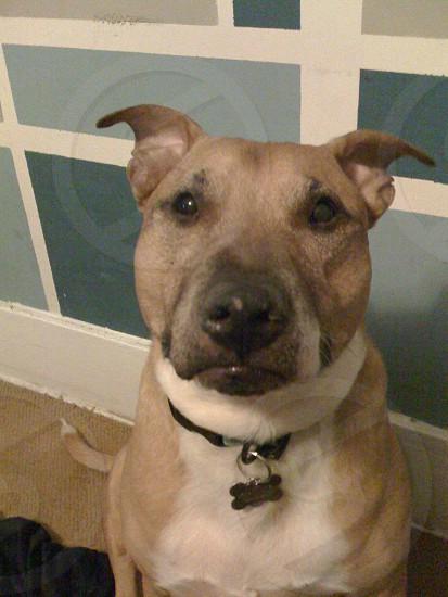 My dog/muse taffy  photo