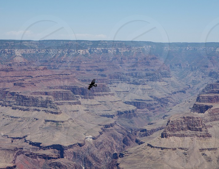 view of black bird flying over grand canyon photo