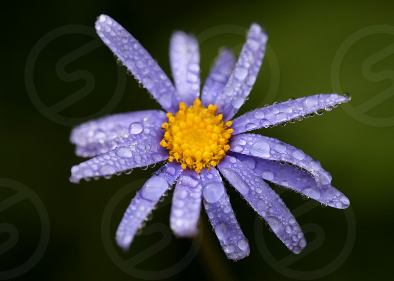 Close-up of bright purple flower just after a rain shower: the promise of springtime is here. photo