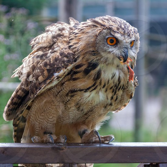 Eurasian Eagle-Owl (Bubo bubo) being rewarded with a chick's leg photo