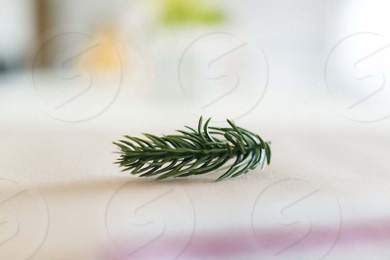 Small twig / branch of a Christmas fir tree as decoration. photo