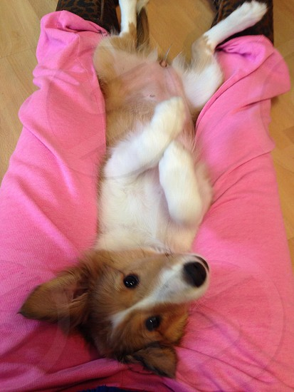 adult short-coated tan and white dog lying down on pink pants photo