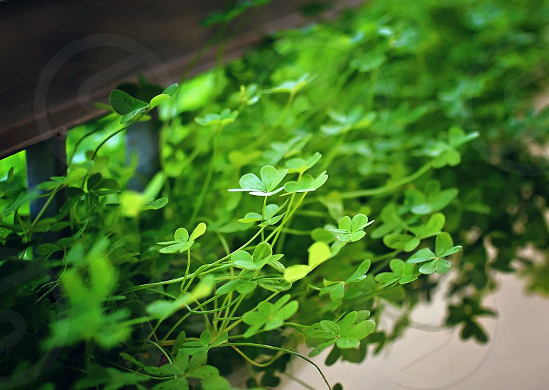 Close up of clovers growing on a wall onto a balcony photo