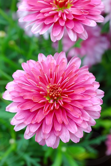 pink and white flower photo