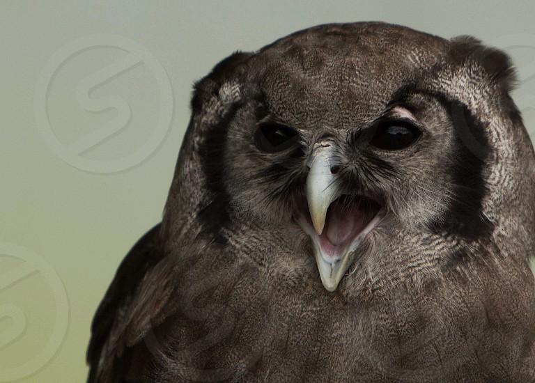 Oregon Zoo resident Milky Eagle Owl photo