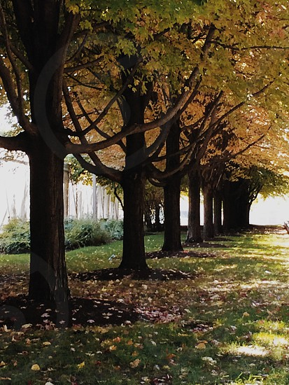 photos of trees lined horizontally surrounded with dried leaves photo