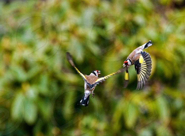 Goldfinches. Arial Combat photo