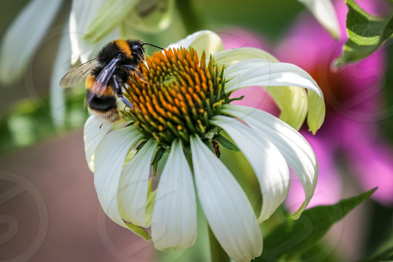 Bee on an Echinacea photo