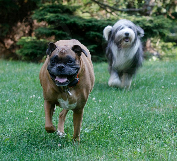 Boxer dog and Beirdie Collie chasing each other. photo