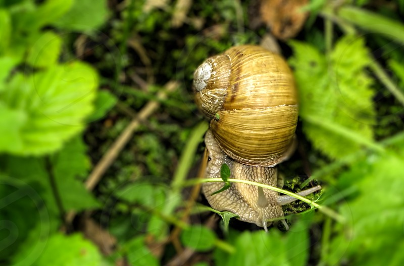 Snail - Doftanei valley Brasov County Romania 1200m photo