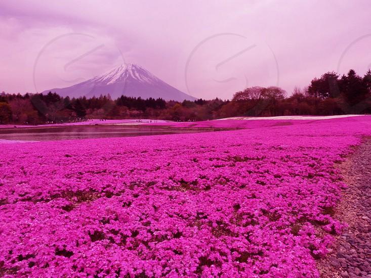 Mount Fujimoss phlox photo