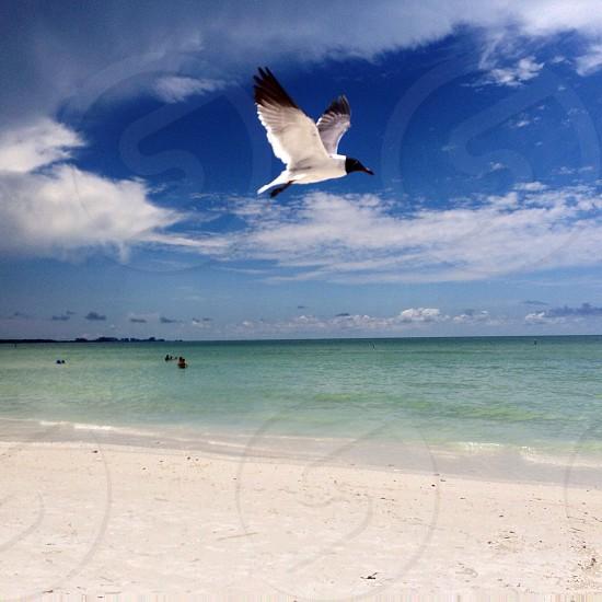 Soaring Seagull over the beach. Honeymoon Island FL photo
