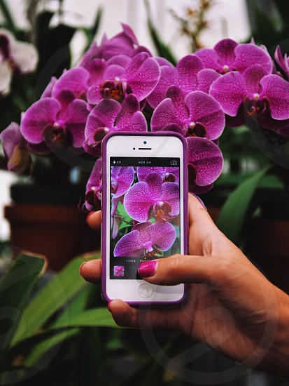 person taking a photo of pink moth orchids using a white iphone 5 photo