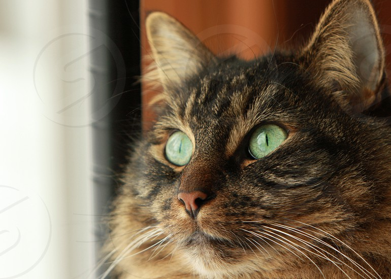 brown black long hair cat looking out near red curtain round green eyes photo
