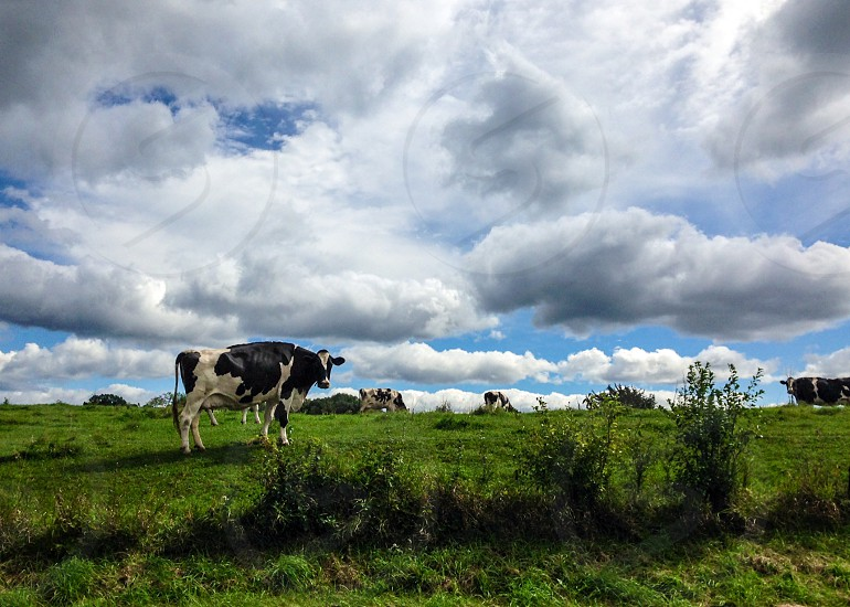 Cows in a field. Green grass clouds and blue sky. photo