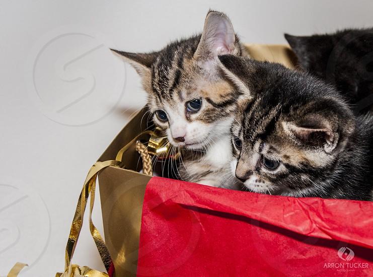 two brown tabby kittens in gold handbag photo