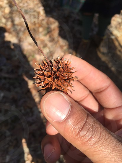 Sweet gum herb parsons lake Tennessee hiking  photo