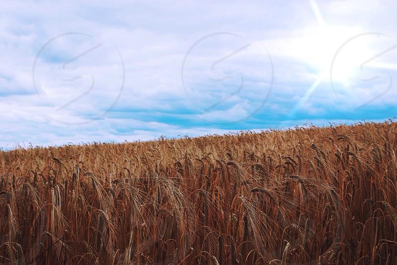 Abbott Kinney - High. Wheat field  photo