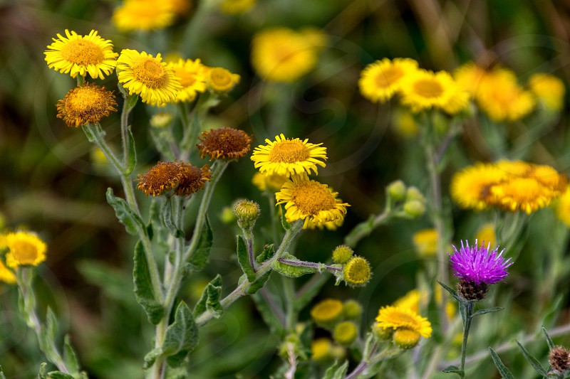 Common Fleabane (Pulicaria dysenterica) and Thistles flowering near Ardingly Reservoir in Sussex photo