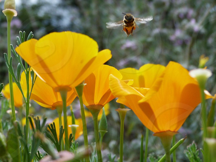 hovering bee over poppies photo