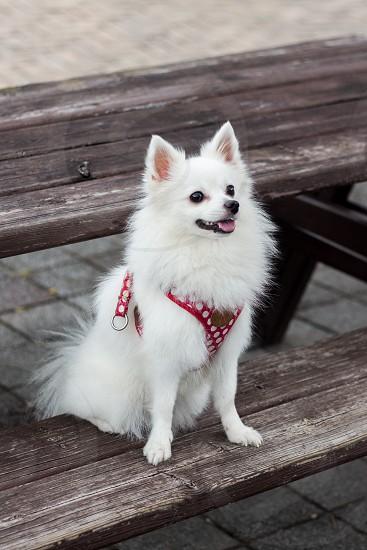 White small cute dog walking outside  photo