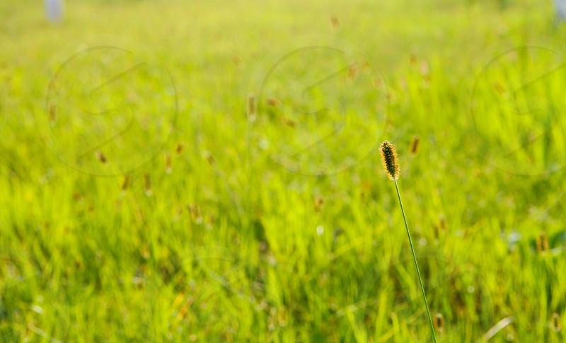 A green bristlegrass photo