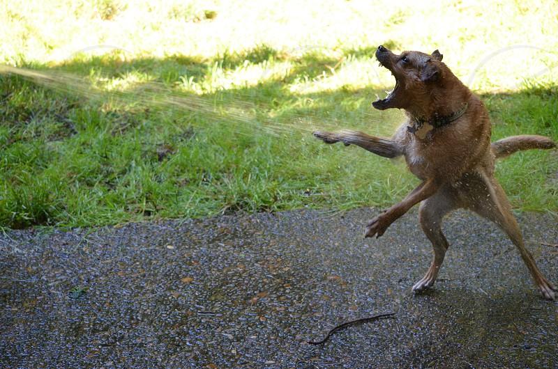 CHUG (Chihuahua/PUG) dog vs. hose kung fu photo