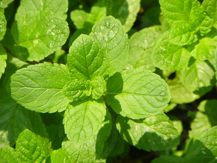Green Mint Leafs Nature. photo