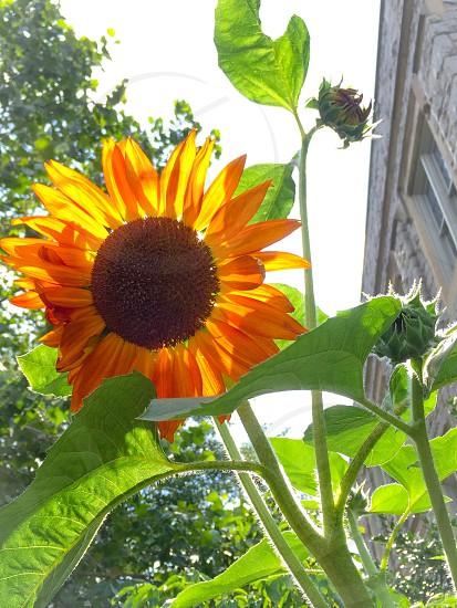 Sunflower flower sunlight plant photo