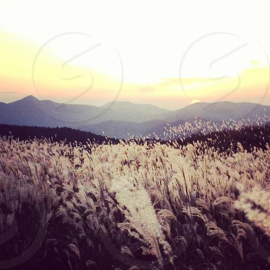 field of wheat grasses photo
