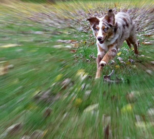 Red Merle Australian Shepherd running through the grass. photo