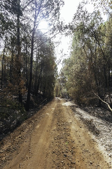 Dirt road between the forest with eucalyptus burned by the fire on the sides photo