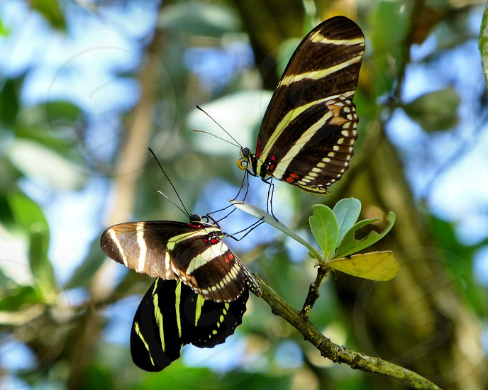 Zebra Longwing Florida butterfly butterfly butterflies pair nature insect photo