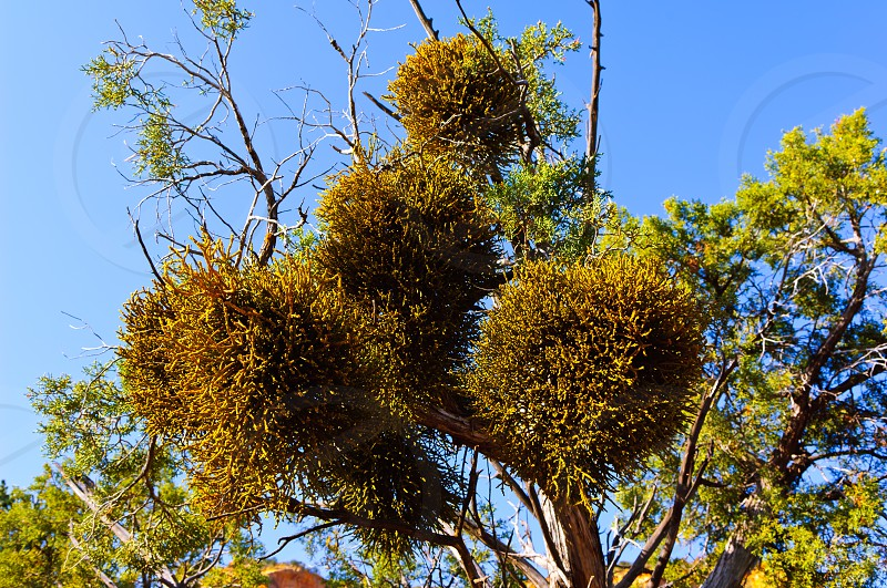 A species of Mistletoe native to Arizona growing parasitically on a Juniper Tree in Sedona. If a tree is infested to a great extent Mistletoe can eventually kill the tree. photo