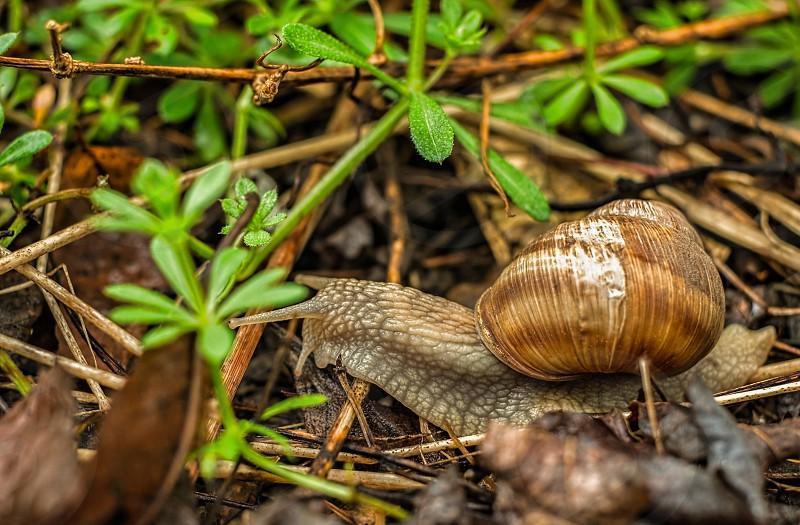 A snail on a walk through the garden after rain photo