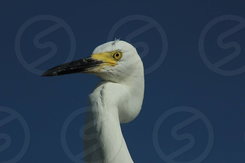 Snowy white egret  photo