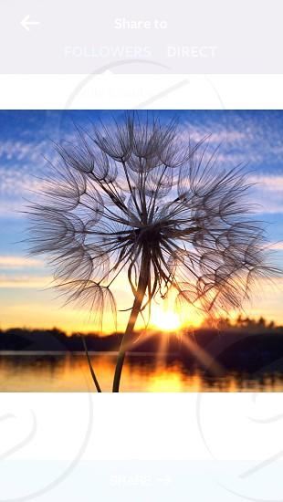 dandelion sunset water front photo